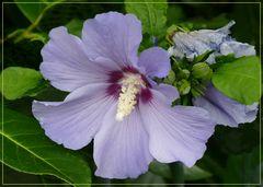 Hybiscus  hellblau