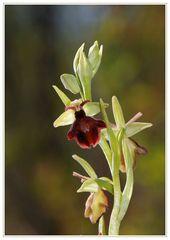 Hybride Ophrys sphegodes X O. insectifera (1)
