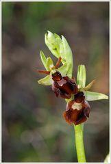 Hybride Ophrys sphegodes X O. insectifera (2)