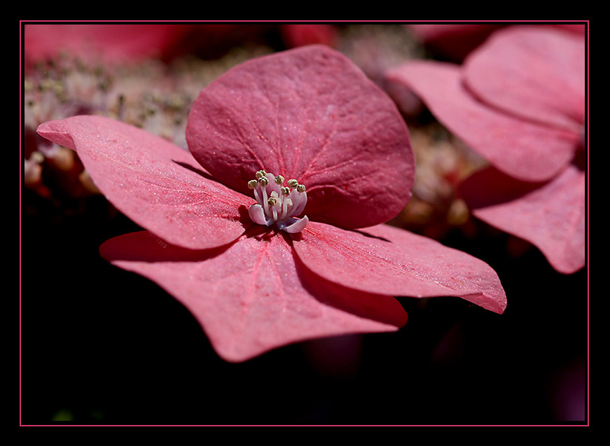 Hydrangea... #2