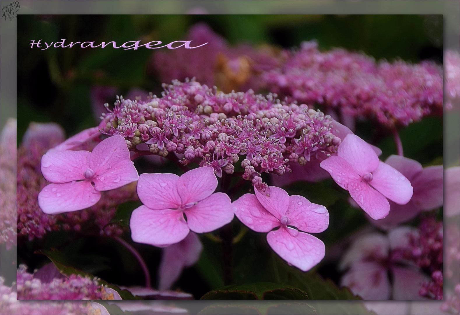 Hydrangea ..