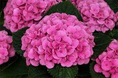 Hydrangea - Hortensie...
