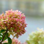 Hydrangea in August