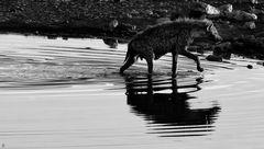 hyena, pregnant