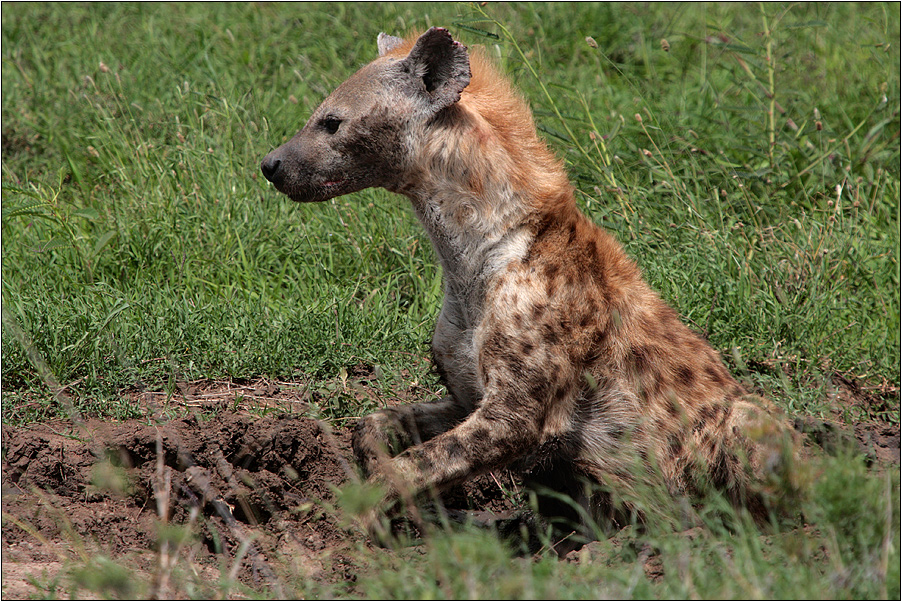 hyenas only laugh for fun
