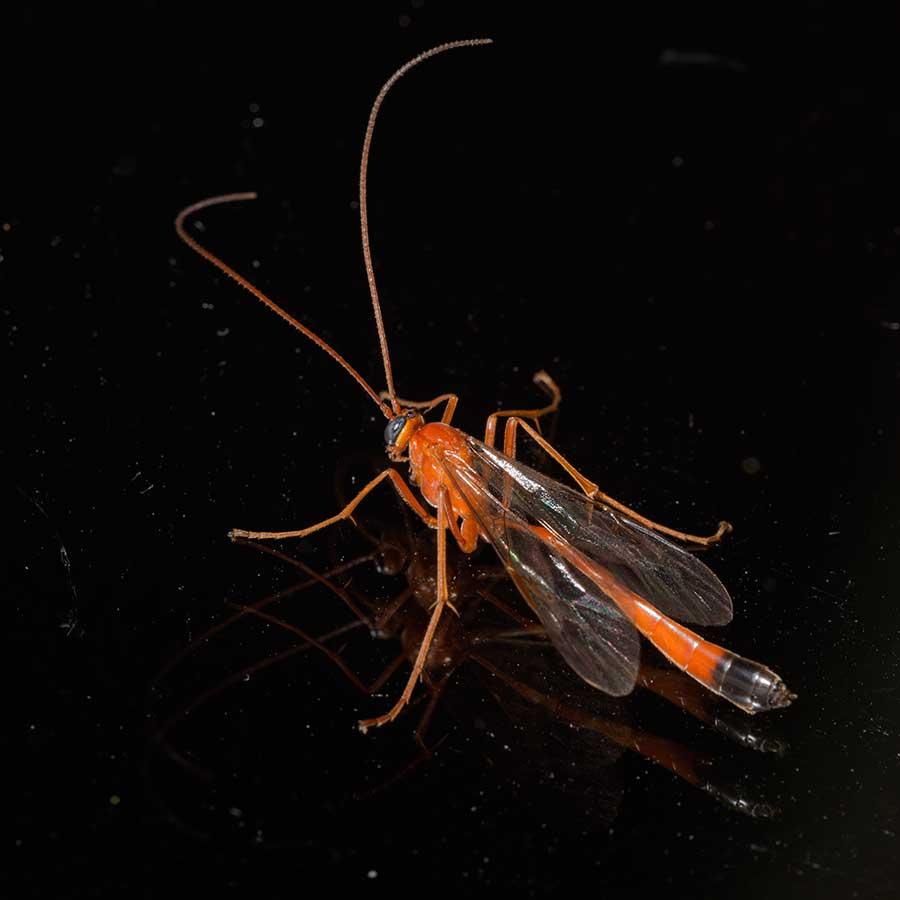 Hymenoptera, Ichneumonidae Enicospilus