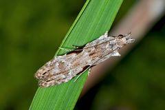 Hypatima rhomboidella: Familie der Gelechiidae (Palpenmotten)