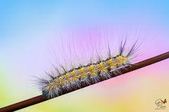 Hyphantria cunea (larva)