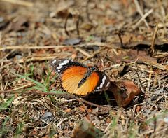 Hypolimnas misippus, Weibchen