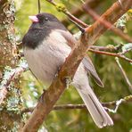 I am a black-eyed Junco
