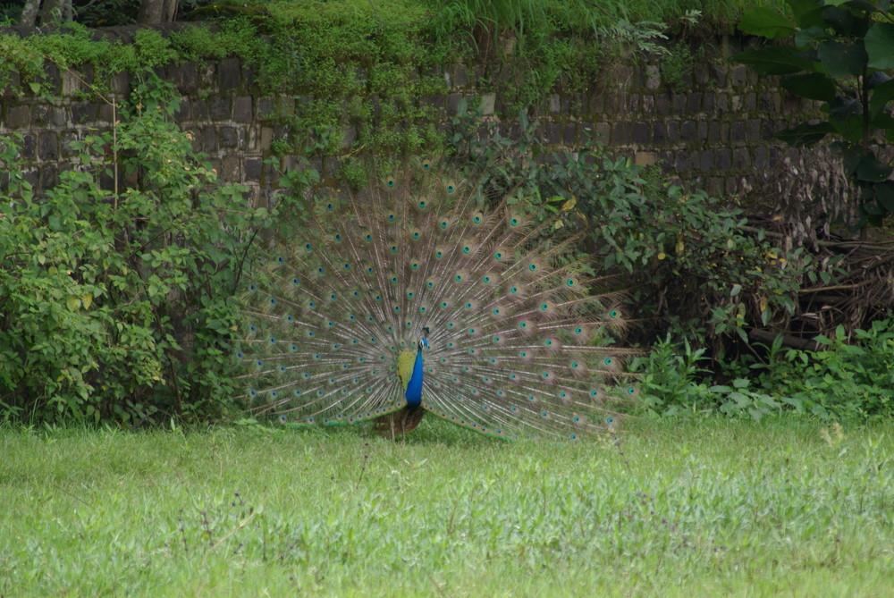 i am national bird of india