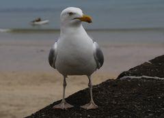 I am not a Möwe but a seagull !