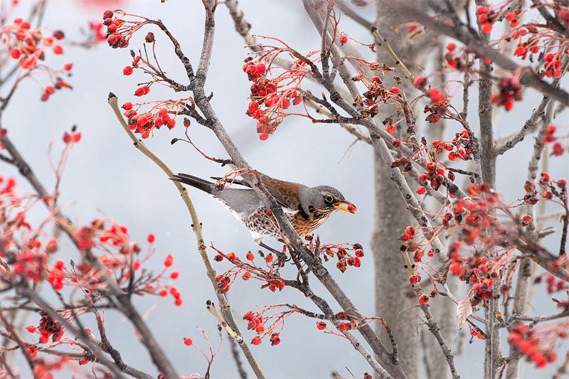I frutti dell 39 inverno 2 foto immagini animali uccelli - Animali in inverno clipart ...