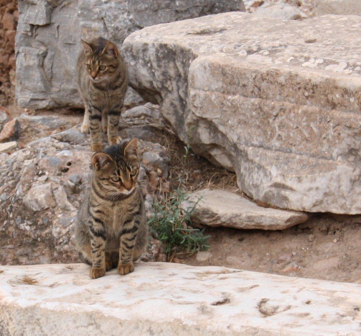 i gatti, ma sono turchi