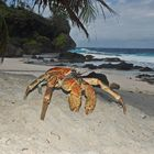 I granchi di Christmas Island (2)