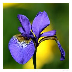 I love Iris