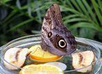 I tanti occhi della farfalla