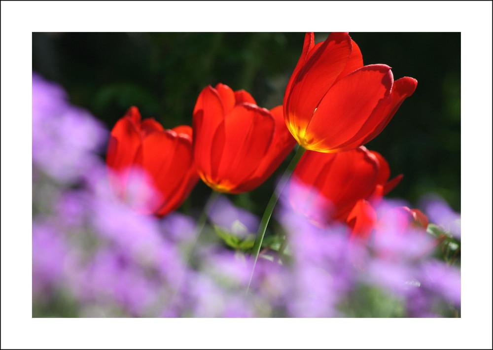 I tulipani della Tedesca