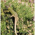 Iberische Smaragdeidechse - reload aus 2003