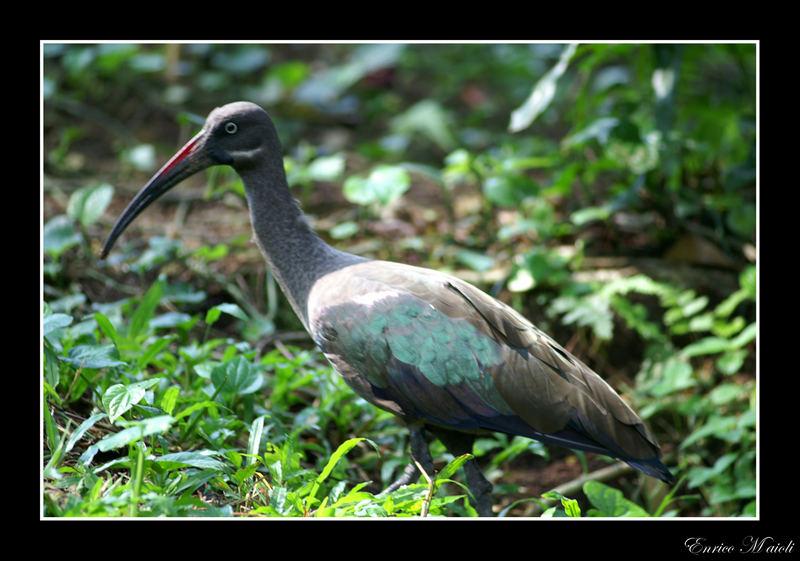 Ibis hadada - Bostrychia hagedash
