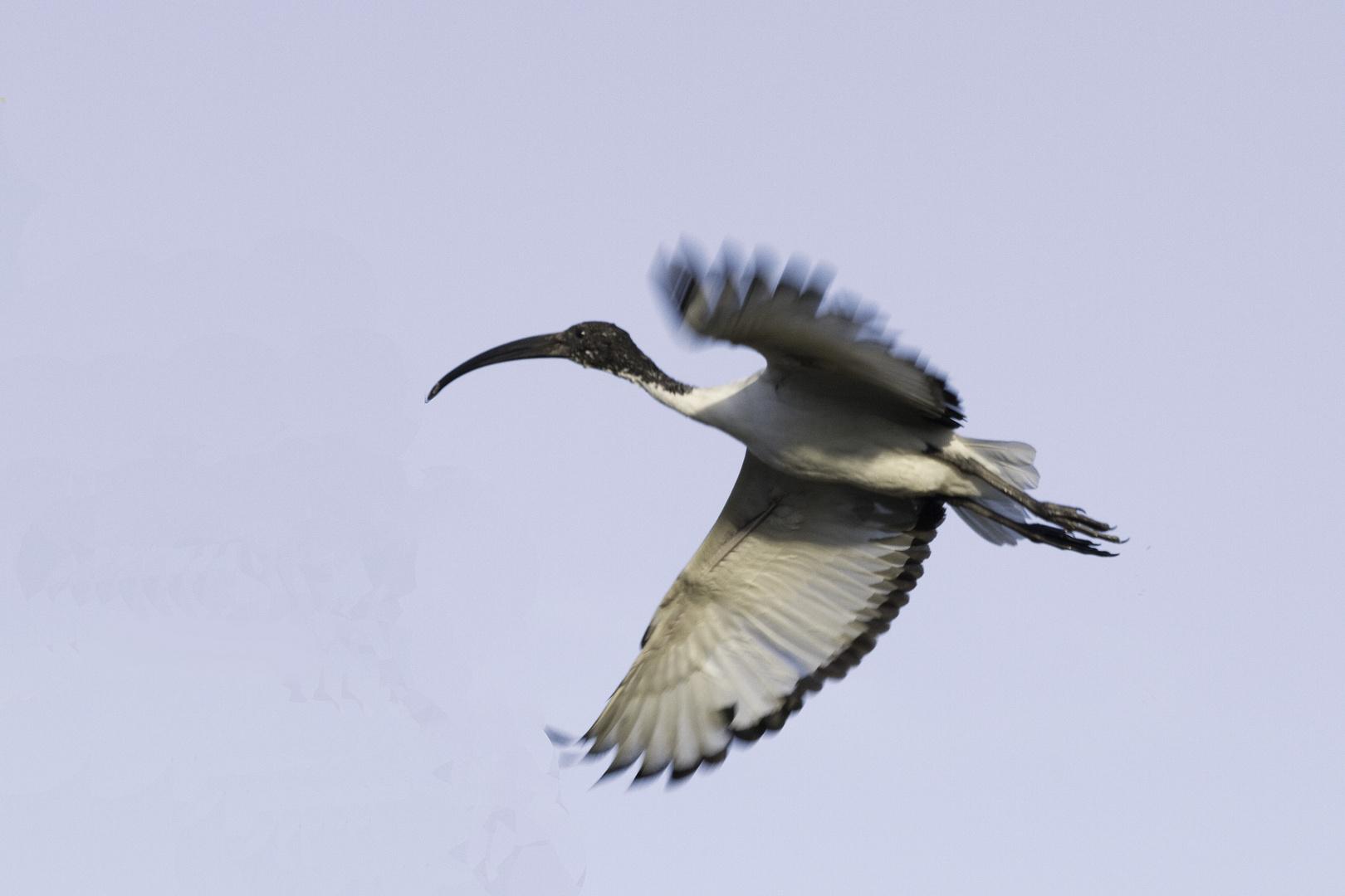 ibis sacro