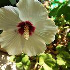 Ibisco bianco