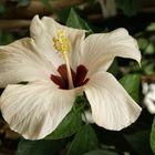 Ibiscus bianco con cuore rosso