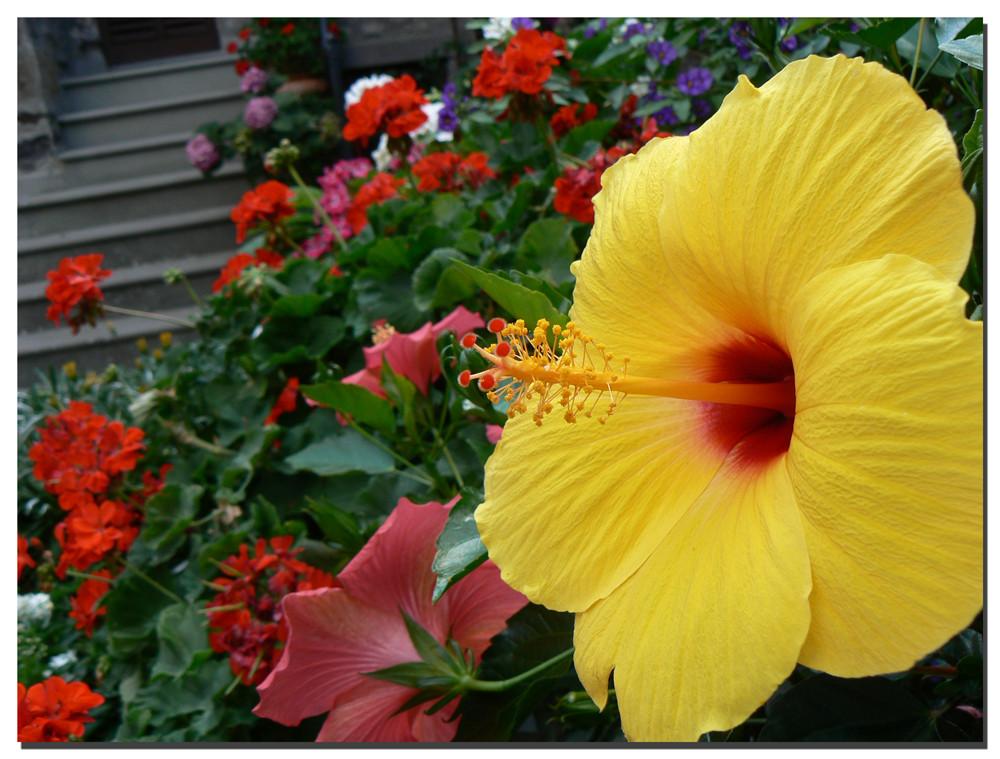 Ibiscus giallo