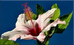Ibiscus..Mittwochsblümchen.
