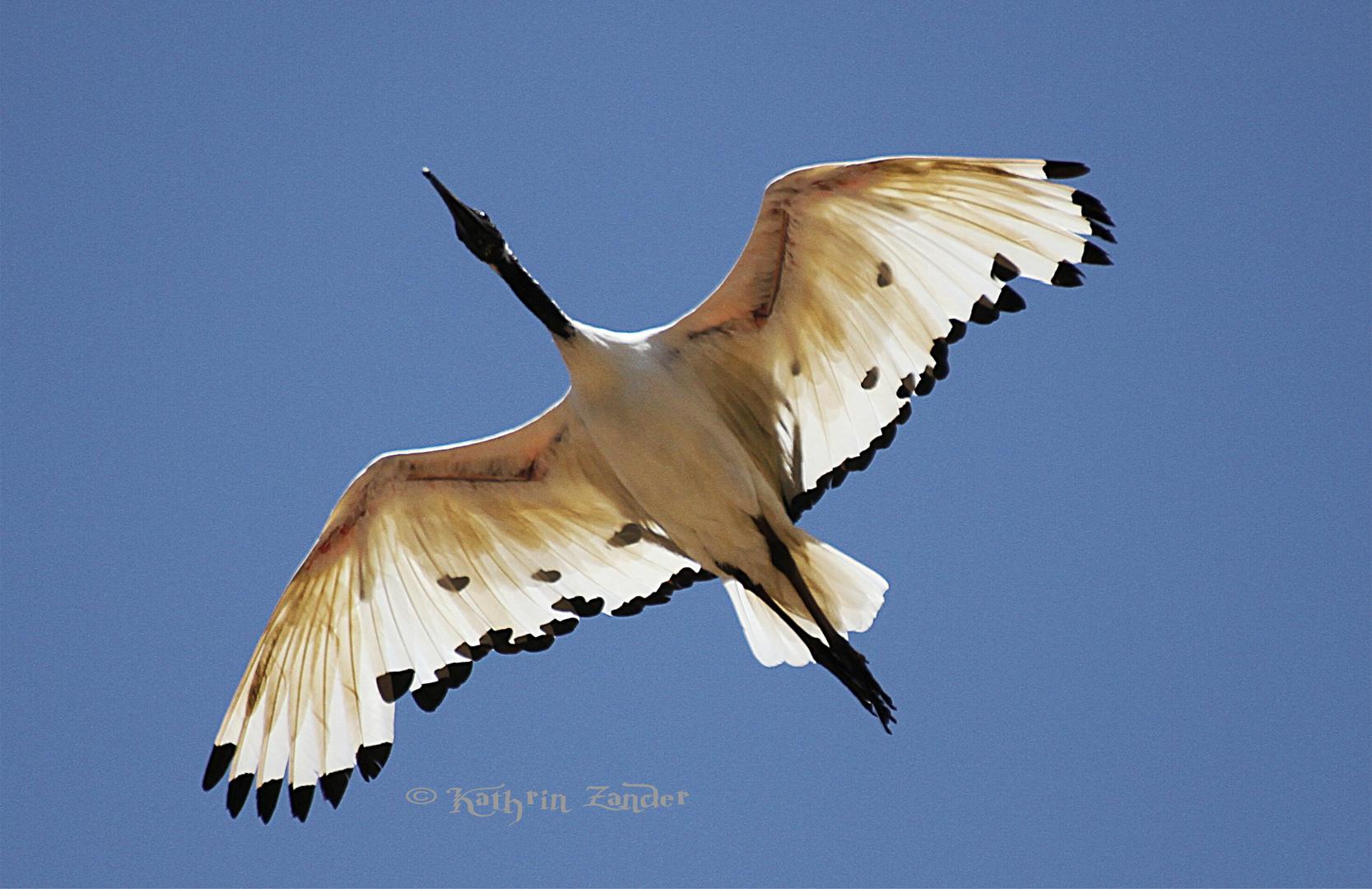 Ibiss im Flug
