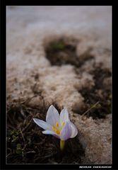 Ice Flower 4