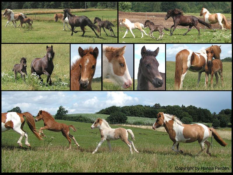 Icelandic foals