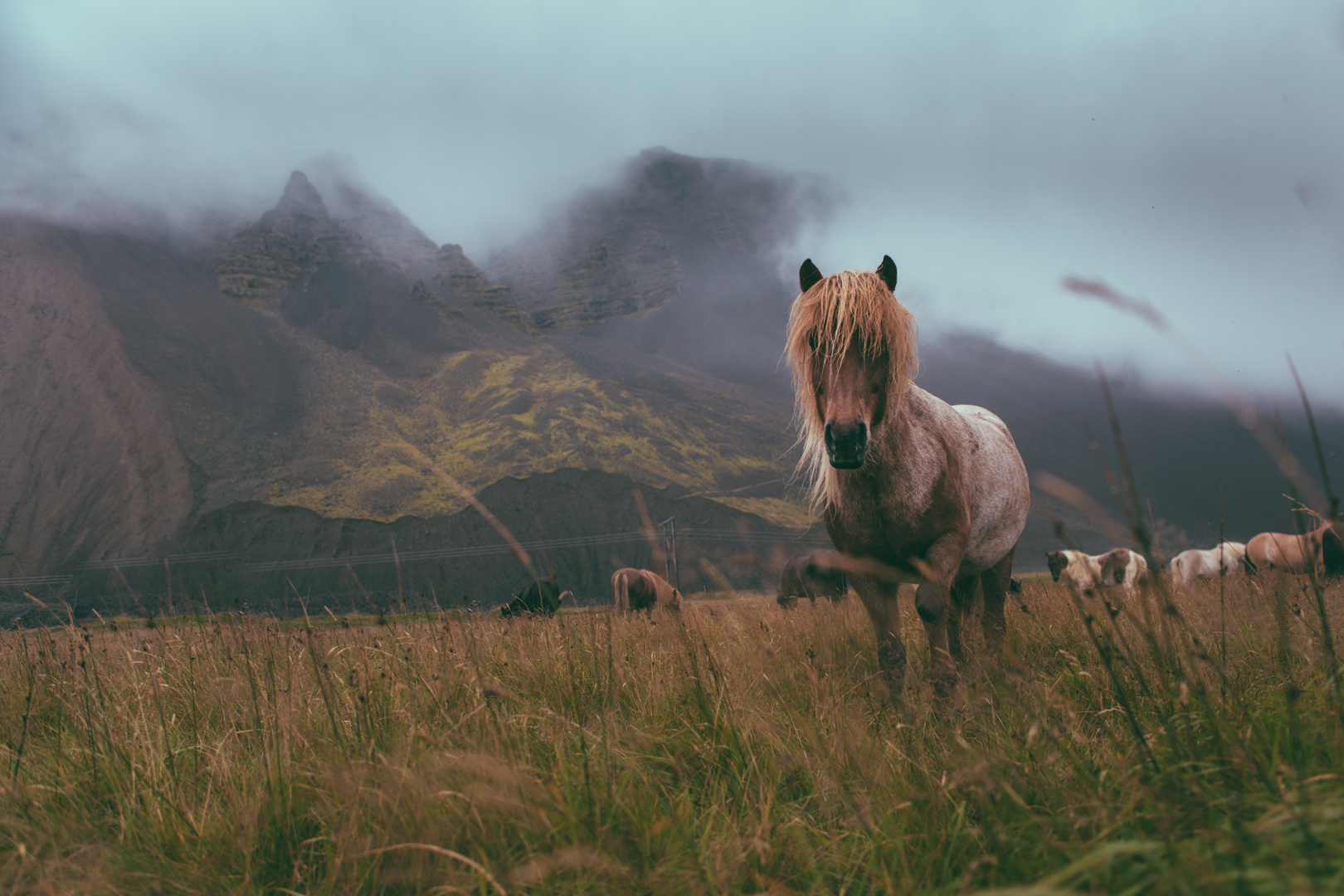 icelandic horse - raw beauty