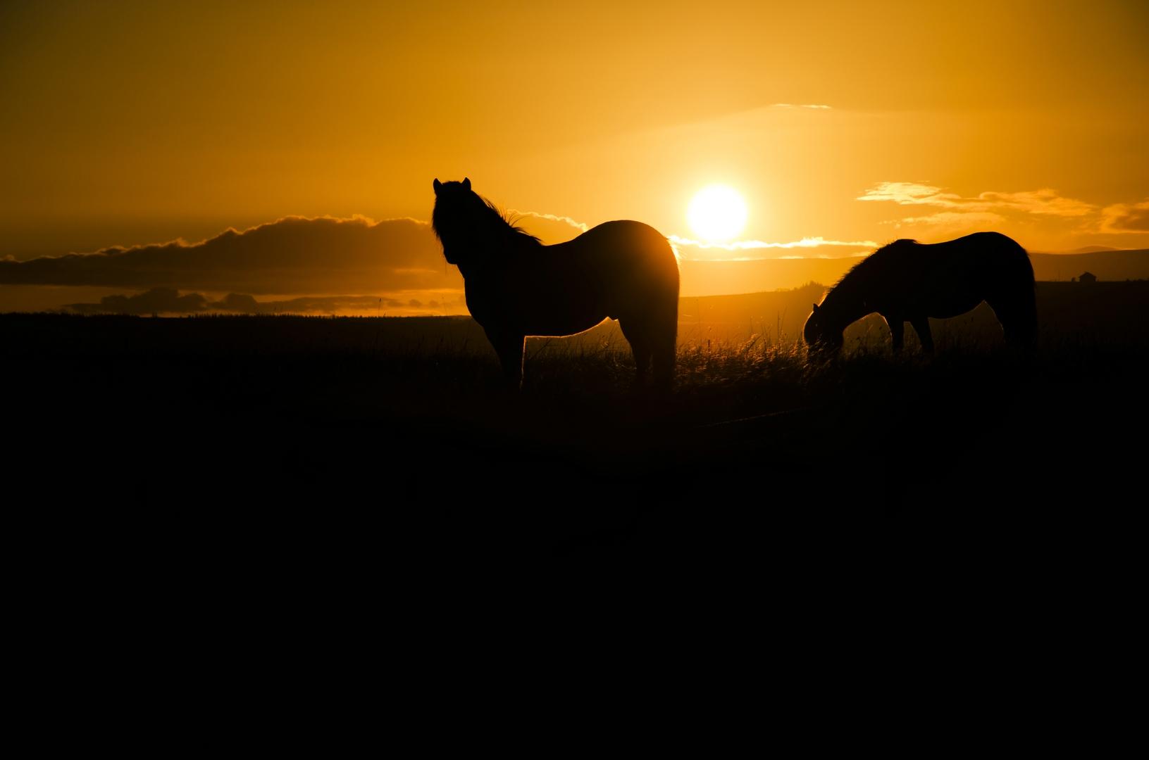 Icelandic Horse @ Sunset