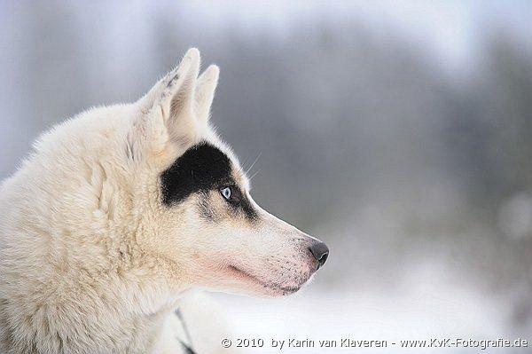 Iceman - Sibirian Husky
