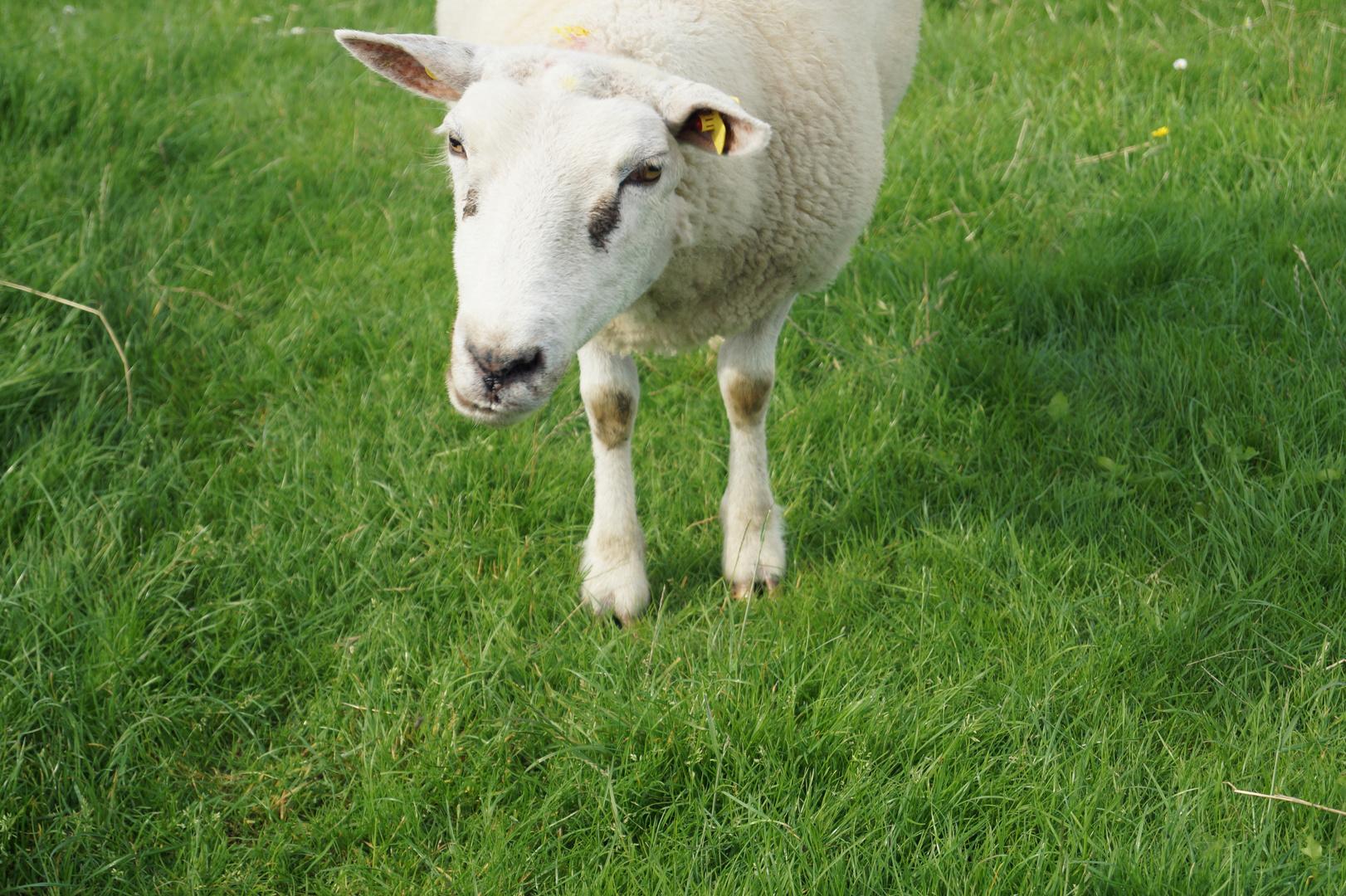 Ich bat das Schaf, mal ein blödes Gesicht für