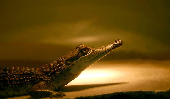 Ich bin das kleine Krokodil.....
