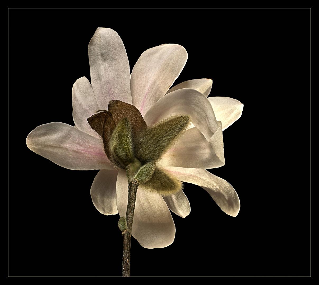 Ich bin die attraktive Rückseite einer Sternmagnolie – Magnolia stellata