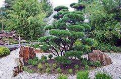 ich bin ein chinesescher baum und steh im arboretun in ellerhoop so rum