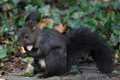 Ich bin ein Eichhörnchen