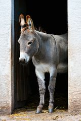 Ich bin ein Esel D71 8004