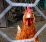 Ich bin ein Huhn.......