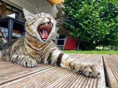 Ich bin ein Tiger...