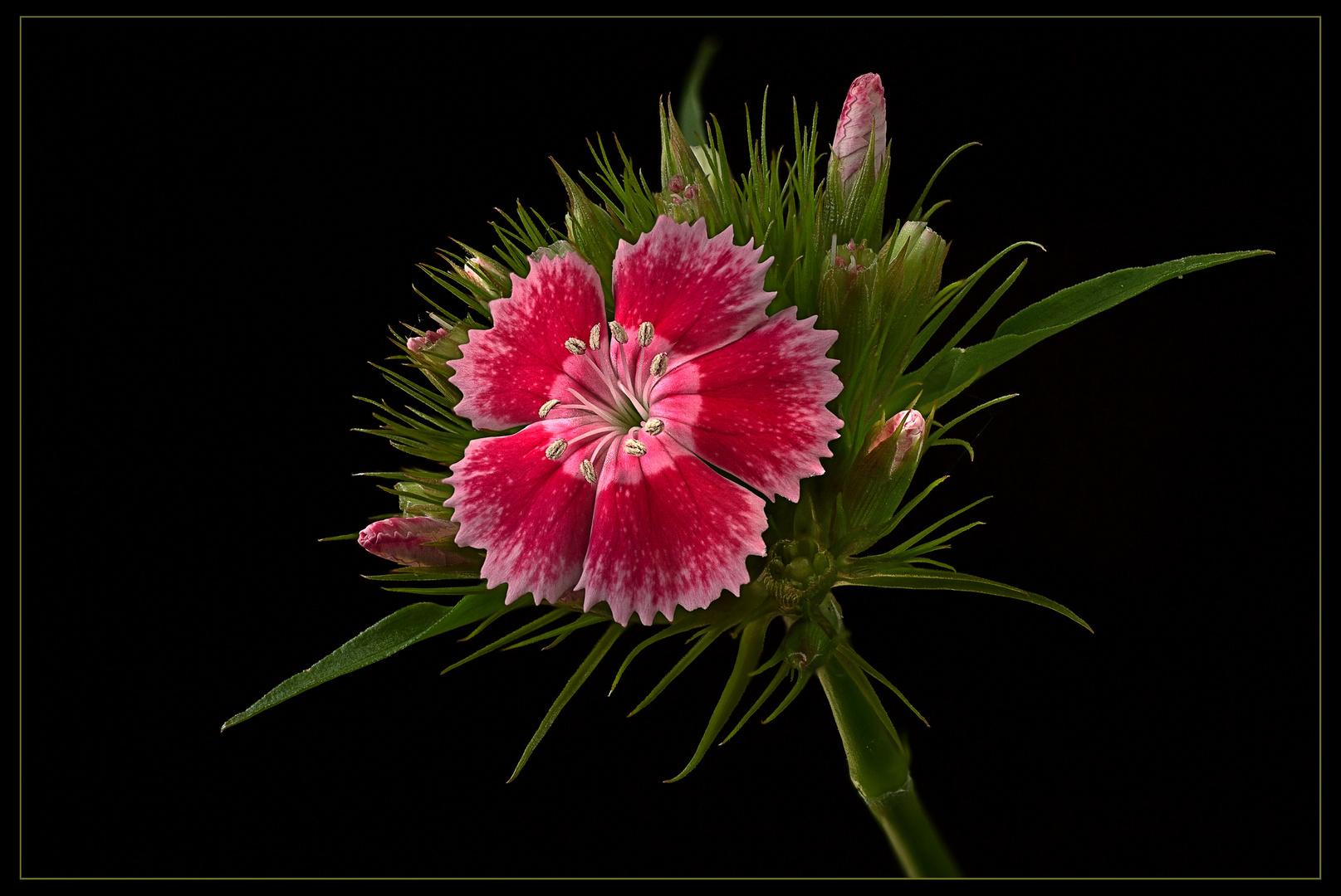 Ich bin eine Dianthus barbatus