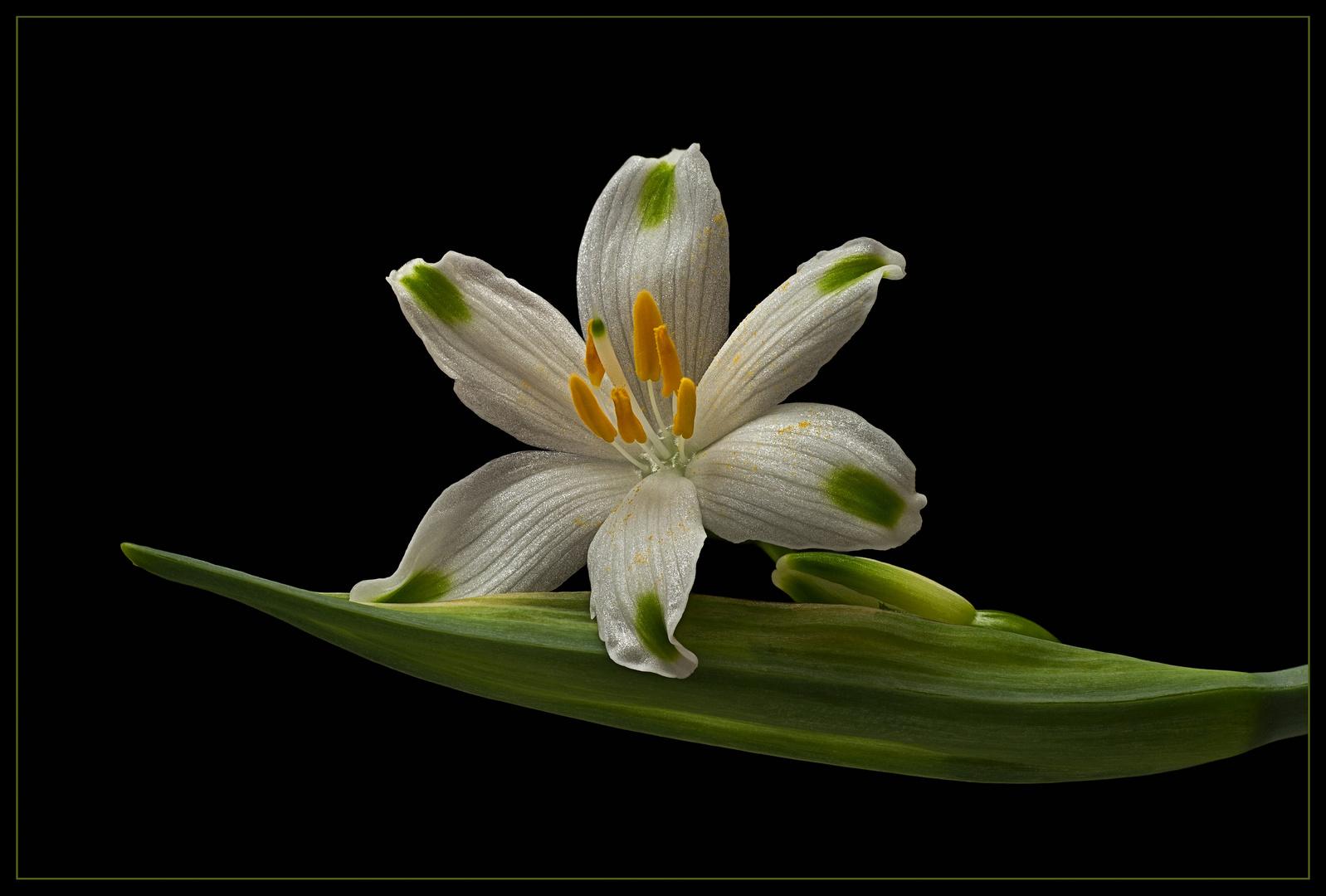 Ich bin eine Leucojum aestivum 'Gravetye Giant' - Sommer-Knotenblume