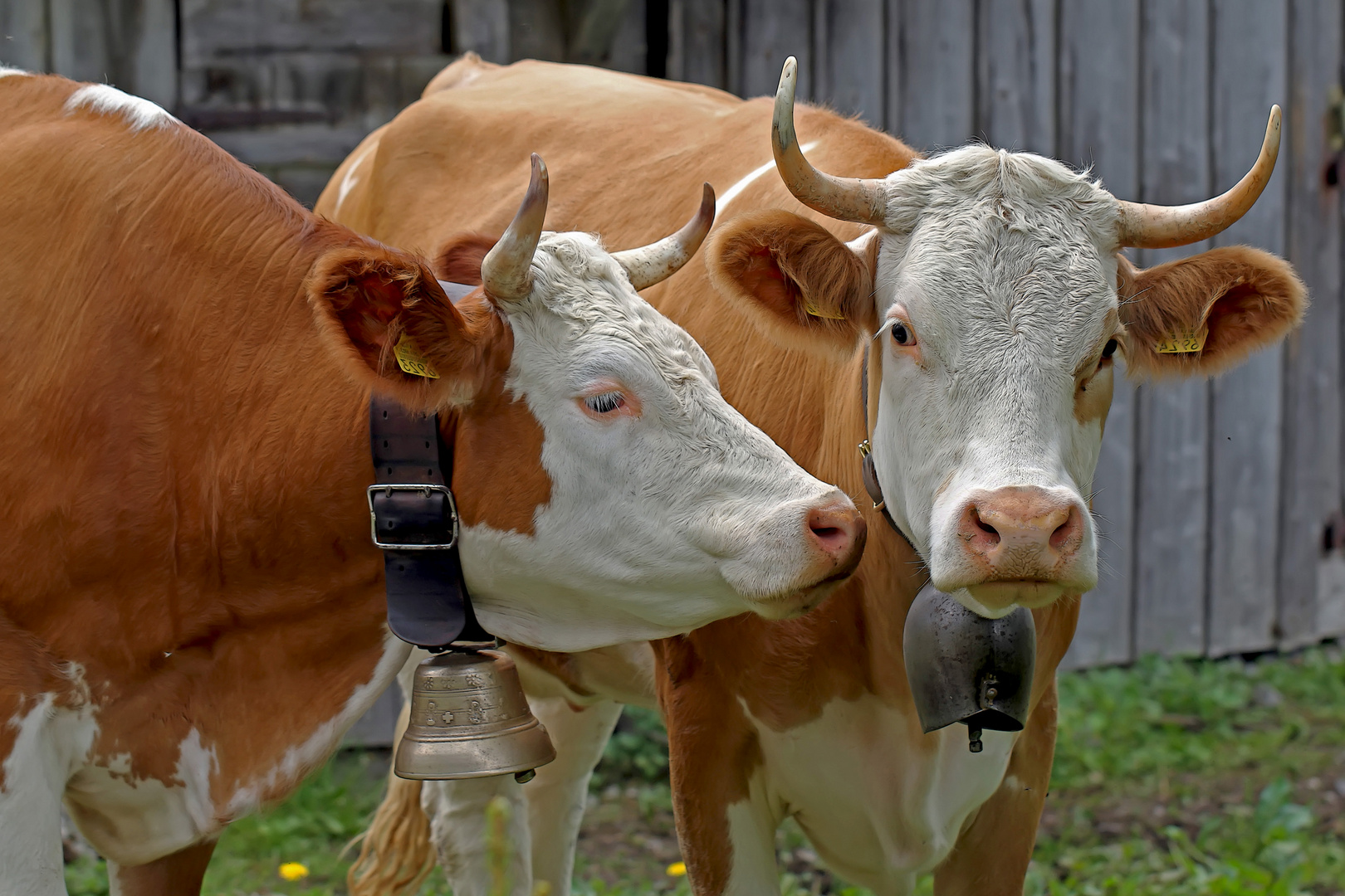 """""""Ich bin genau wie du, eine echte Schweizer Kuh ..."""""""