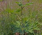 Ich bitte um Bestimmungshilfe für diese RIESEN-Pflanze