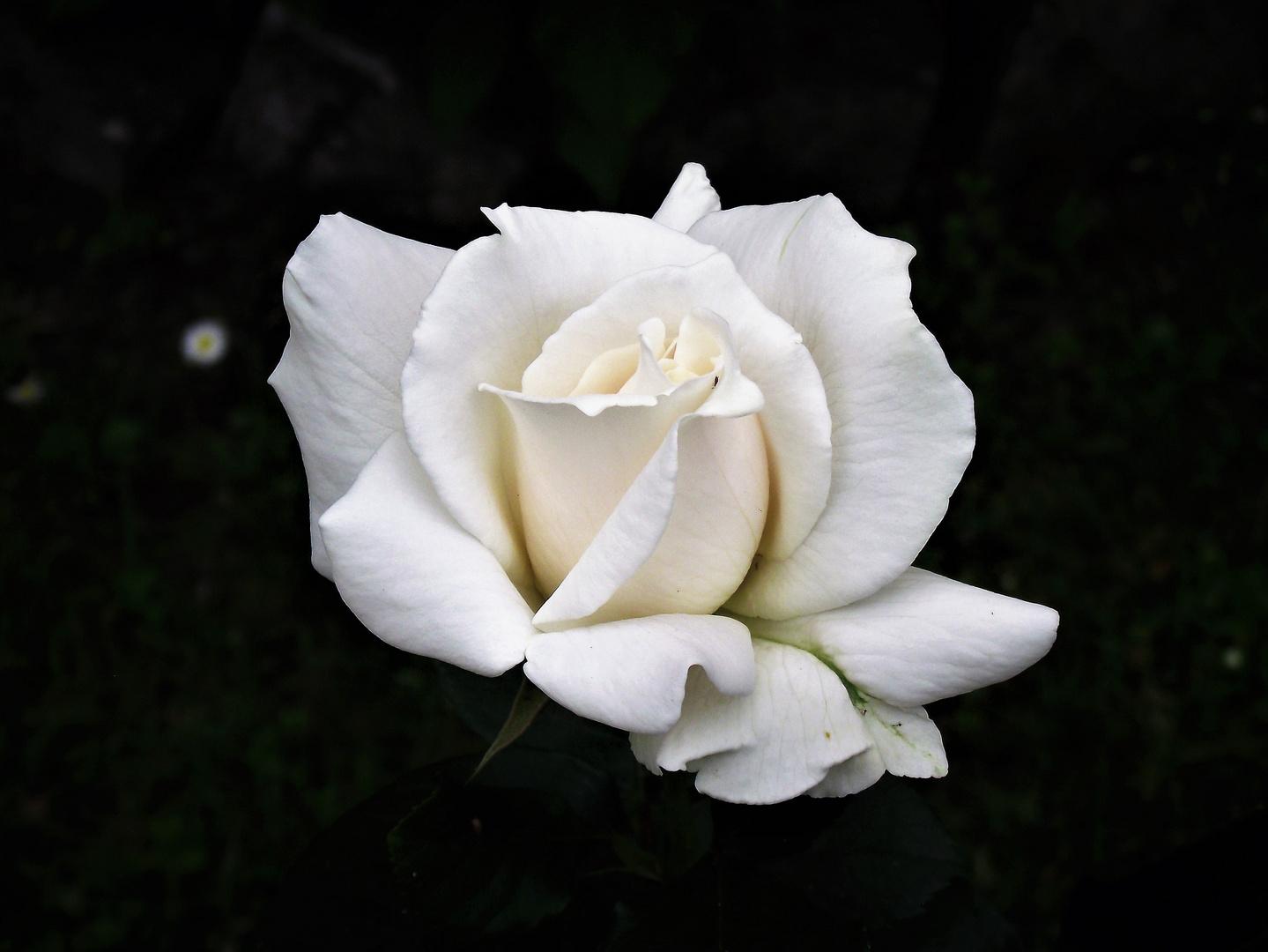 """""""Ich gebe Ihnen eine weiße Rose heute"""""""
