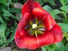 ich glaube das is eine tulpe oder ?? kenne mich da nich so as hiih