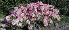 Ich habe fertig sagte der Rhododendron in der heutigen Priminitivsprache...
